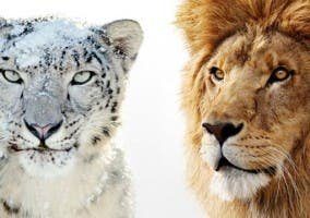 Snow Leopard Vs Lion y sus logotipos