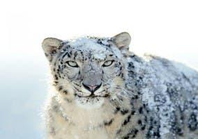 Imagen Snow Leopard